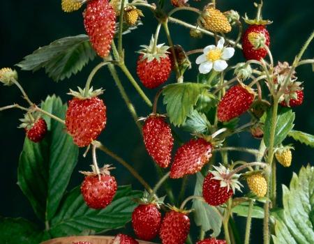 Come coltivare le fragole in vaso consigli per farle for Fragole in vaso