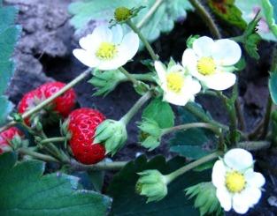 Come coltivare le fragole in vaso consigli per farle ...