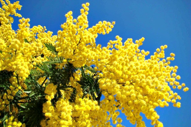mimose-638x425. Come mai la mimosa 287086ab39bb