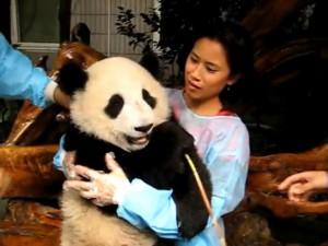 I dodici panda che hanno stregato la Cina e il mondo (VIDEO).