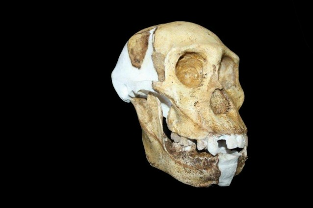 Australopithecus sediba: i segreti di un