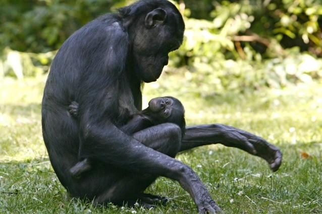 Il linguaggio dei gesti che ci unisce agli scimpanzé.