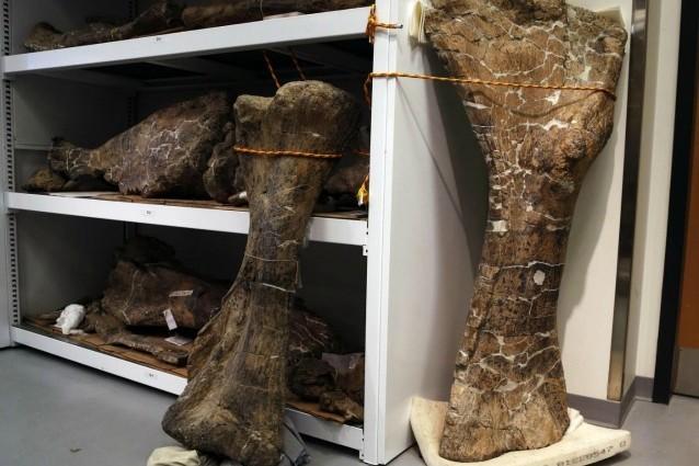 Lo scheletro di un dinosauro da record è stato scoperto in Patagonia.
