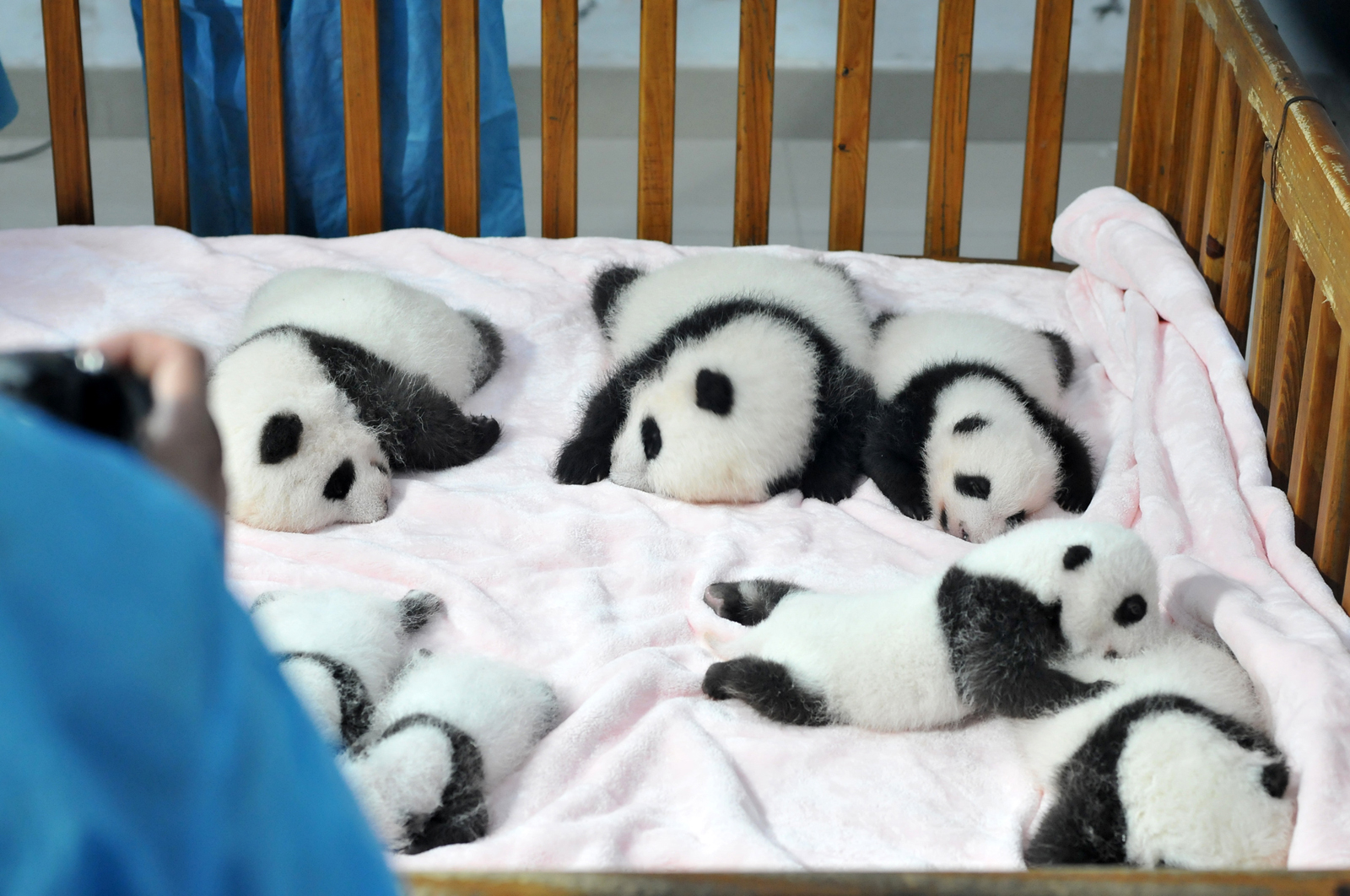 Panda Bears China Tour