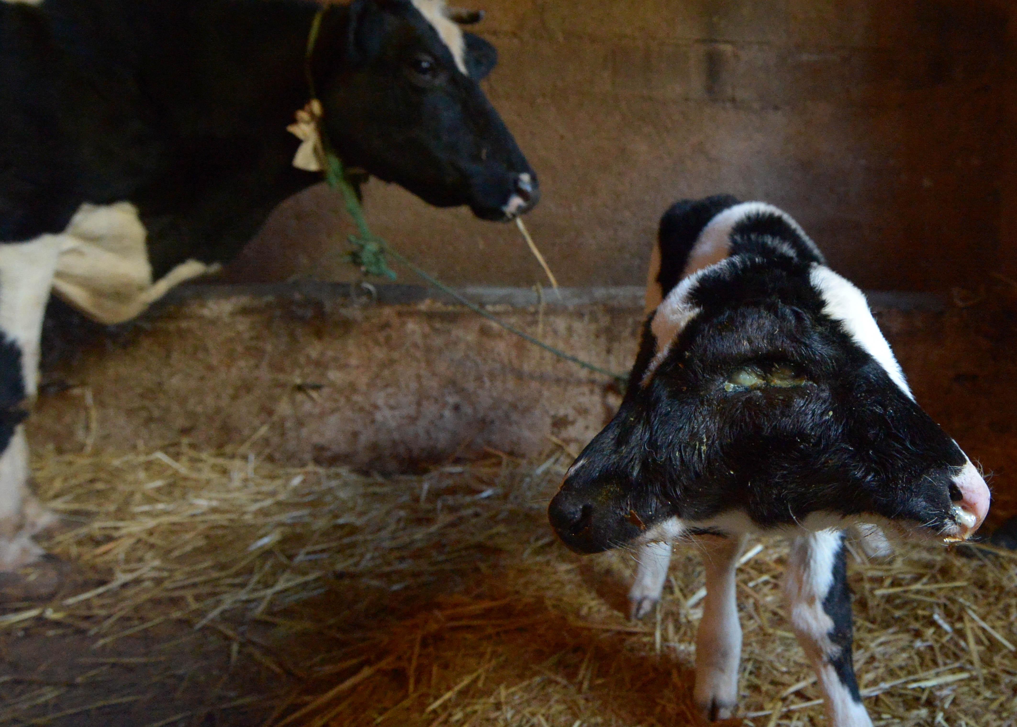Роди у корови фото 8 фотография