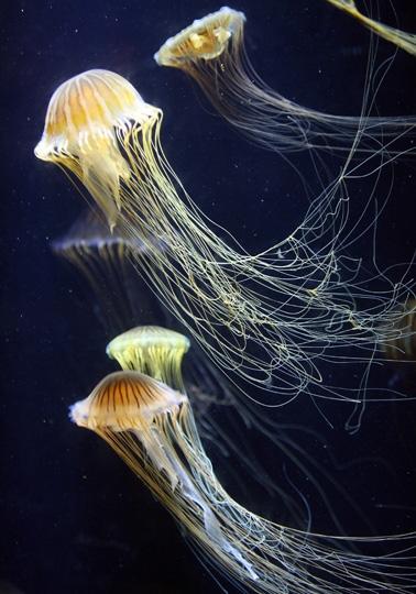 Medusa del Pacifico