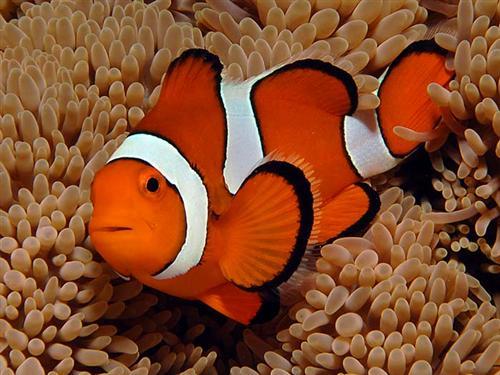 I Coralli Sono Animali Nemo potrebbe estingue...