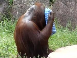 orangotango è la star del web: nello zoo di tokyo si asciuga la fronte per il caldo
