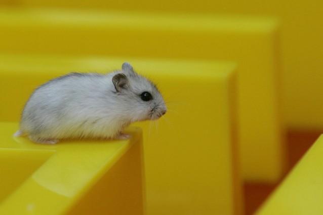 Empatia e solidarietà tra ratti.
