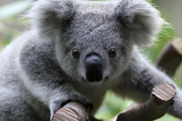 What does a koala bear look like 10