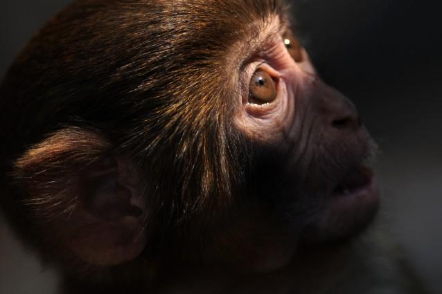 Quei 900 macachi in viaggio verso la vivisezione (e la morte).
