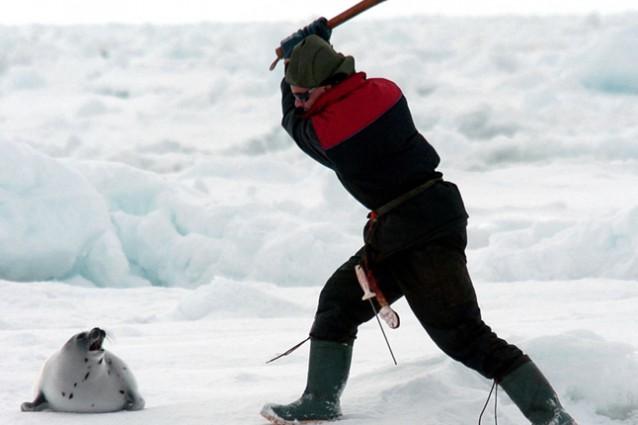 In Canada ricomincia la caccia alle foche.