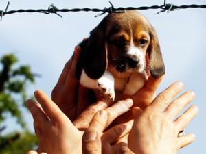 I beagle di Green Hill verso l'affido: come fare per adottarli.