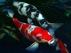 """Carpe Koi. Non chiamatele solo  """"pesci""""!"""
