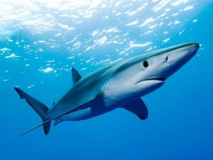 Uno squalo nelle acque di Ostia: bagnanti in fuga