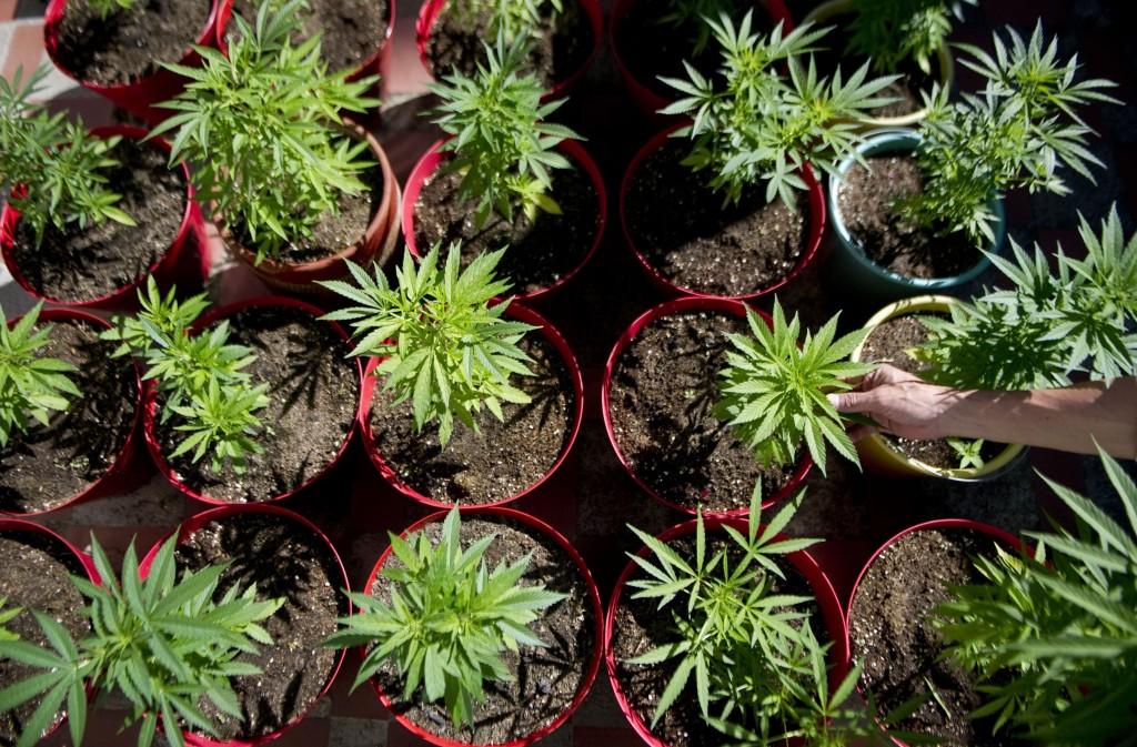Apre il primo cannabis social club d italia for Vasi erba