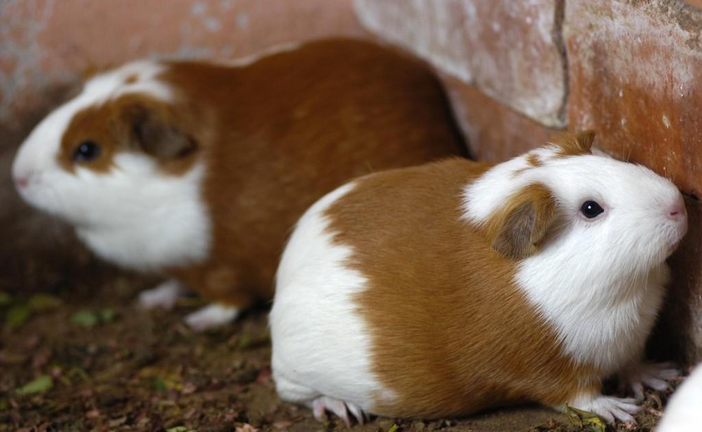 I porcellini d india che piacciono agli americani al forno for Porcellino india