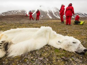 Orso polare morto affamato per lo scioglimento dei ghiacci marini