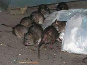 USA: uomo allevava in casa 300 topi. Costretto a chiedere aiuto ai soccorritori.