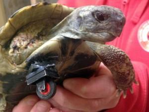 Tartaruga mutilata: gli sostituiscono la zampa con una ruota Lego.