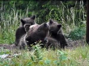 L'orsa Daniza morta durante la cattura: non ha retto all'anestesia.