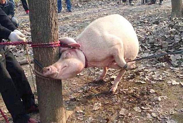 Orrore in Cina: bambino si avvicina al recinto dei maiali e viene sbranato