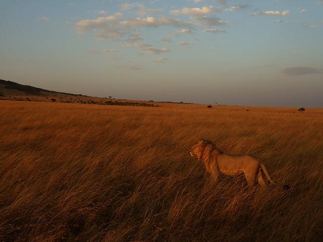 Leone al Masai Mara