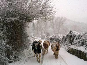 Terremoto, nelle Marche animali congelano: allevatori li riportano nelle stalle inagibili