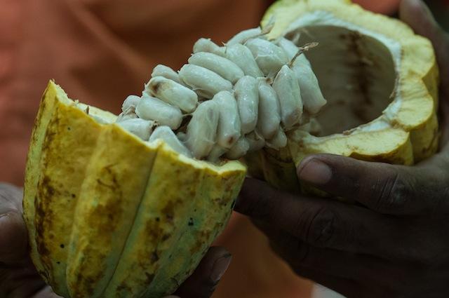Piante Di Cacao : Cioccolato a rischio il regno unito mette in quarantena