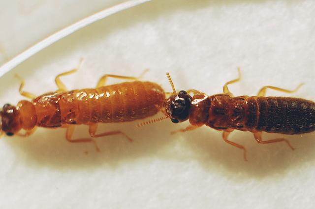 termite 2