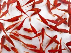 L invasione dei pesci rossi gettati nello scarico del bagno for Quanto vivono i pesci rossi