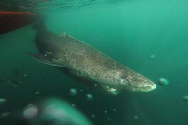 La scoperta dell'incredibile squalo che vive fino a 400 anni
