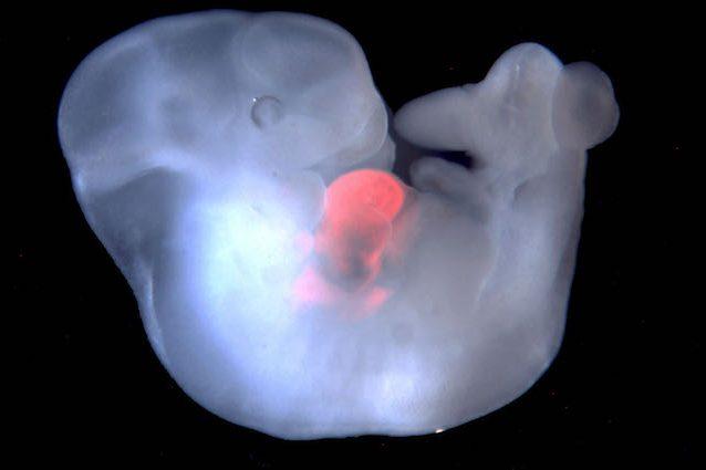 Creato in laboratorio l'embrione in parte uomo e in parte maiale
