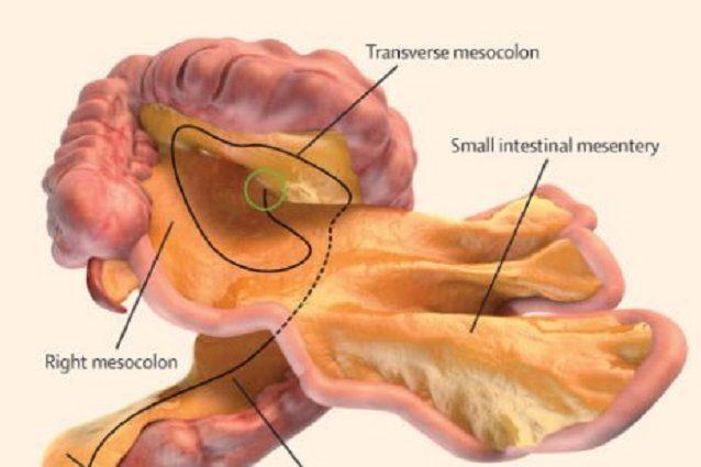 Nuovo organo nel corpo umano: cos'è il mesentere