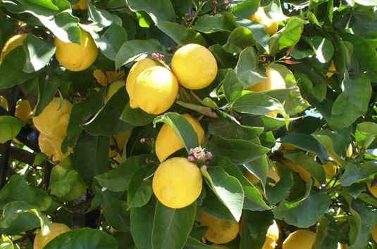 C 39 erano una volta i limoni autori fanpage for Periodo potatura limone