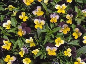 Un fiore per casa viola del pensiero poca manutenzione e for Viola cornuta inverno