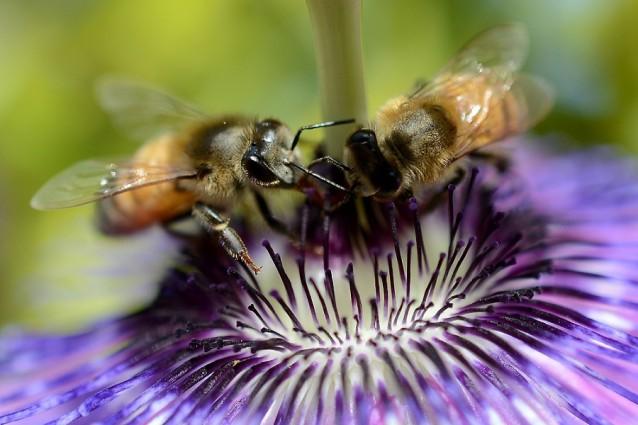 Le api domestiche stanno scomparendo