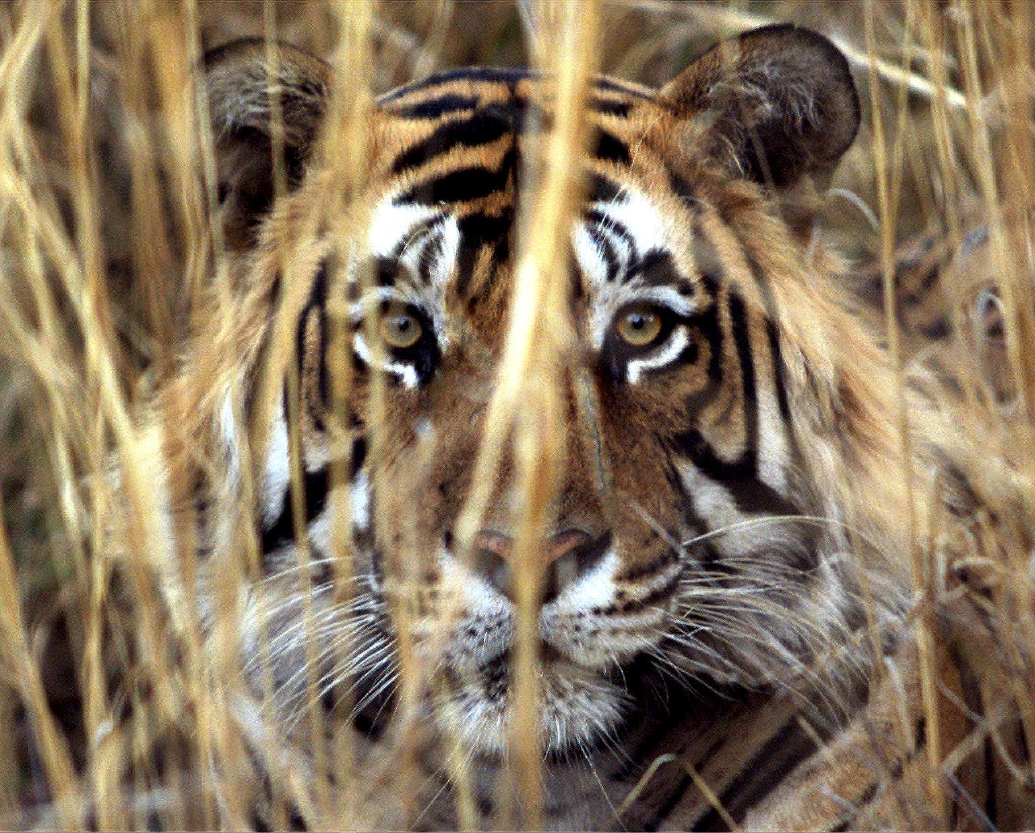 Elefanti rinoceronti e tigri i pi minacciati dal for Disegni delle tigri