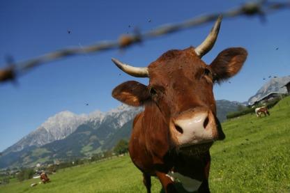 Mucche ogm
