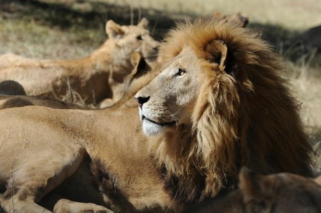 leone a rischio estinzione