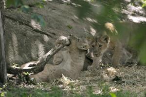 leone asiatico