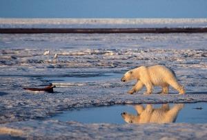 alaska orso polare