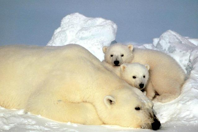 per gli orsi polari in alaska non c e posto
