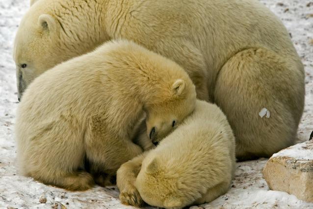 gli orsi polari sono condannati senza un piano per la loro