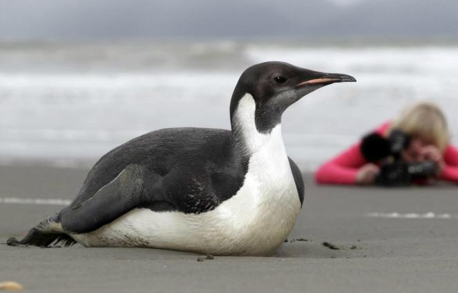 "The Pertinent Penguin: ""Sand eater"" Happy Feet to be ... |Happy Feet Zoo Aquarium"