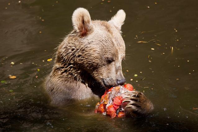 Tentato sterminio degli orsi in abruzzo caccia ai for Affittare una cabina nel grande orso