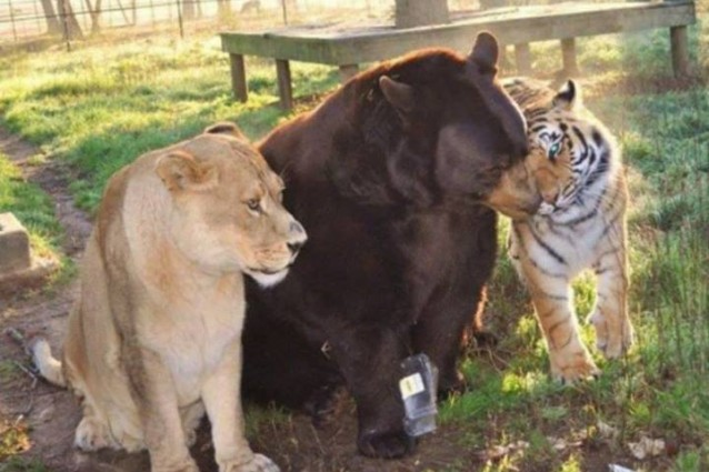 Un leone, una tigre e un orso: il ricordo, l'affetto e le fusa di tre grandi amici (VIDEO)