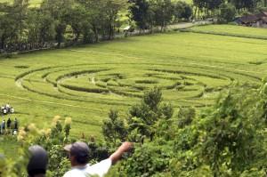 Un cerchio nel grano in un campo in Indonesia.
