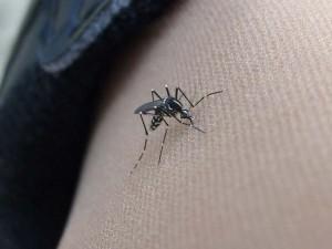 """La zanzara tigre ha portato negli Usa il virus """"che piega e contorce"""""""