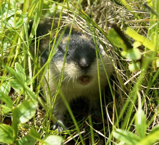 Lemming all'attacco (via Wikipedia)